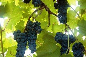 Самые популярные сорта винограда