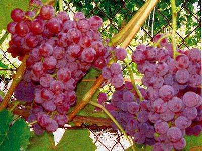 Лучшие сорта винограда для Подмосковья