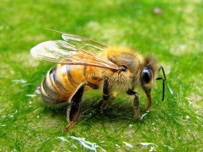 Лечение укусами пчел в домашних условиях. Процесс лечения ужаливанием пчелами