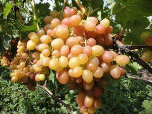 Виноград Хамалеон: как выглядят грозди