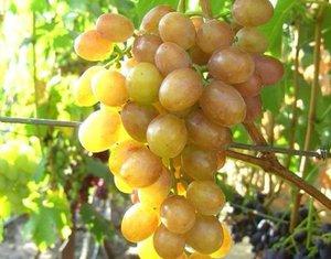Вкусовые качества винограда Хамелеон