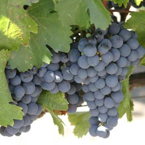 виноград сорта изабелла описание сорта фото