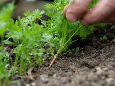 Как поливать морковь нормы и ошибки