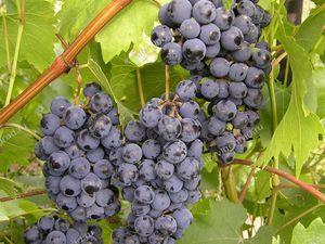сорт винограда зилга фото и описание