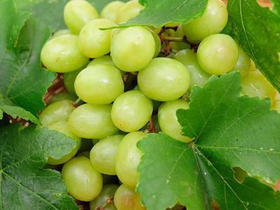 Виноград Гарольд - описание сорта с фото, отзывы, правильный уход