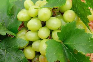 Виноград сорта Гарольд и его описание