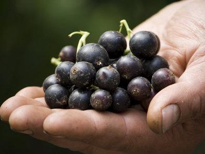 Сорта черной смородины с крупными сладкими ягодами