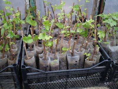 Как размножить виноград черенками весной