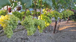 Производство саженцев винограда
