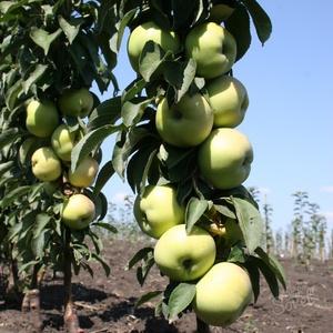 Яблоко колоновидное- Президент