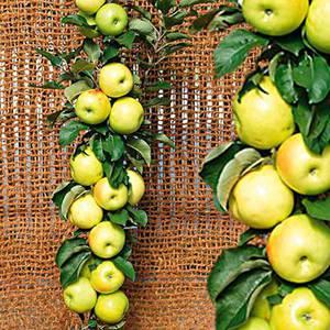 Президент-колоновидный сорт яблока