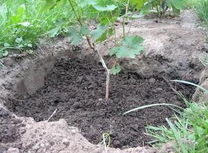 Правила посадки винограда черенками