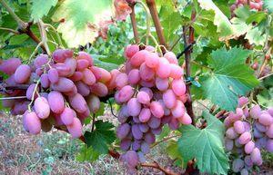 Внешний вид виноградного сорта Водограй