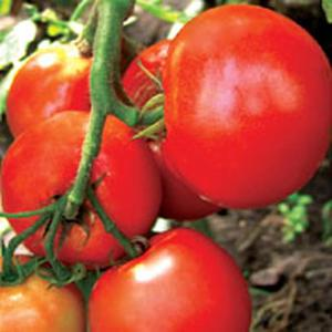 Характеристика томатов Верлиока