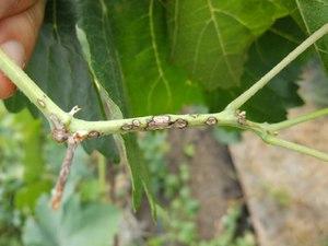Причины антракноза винограда