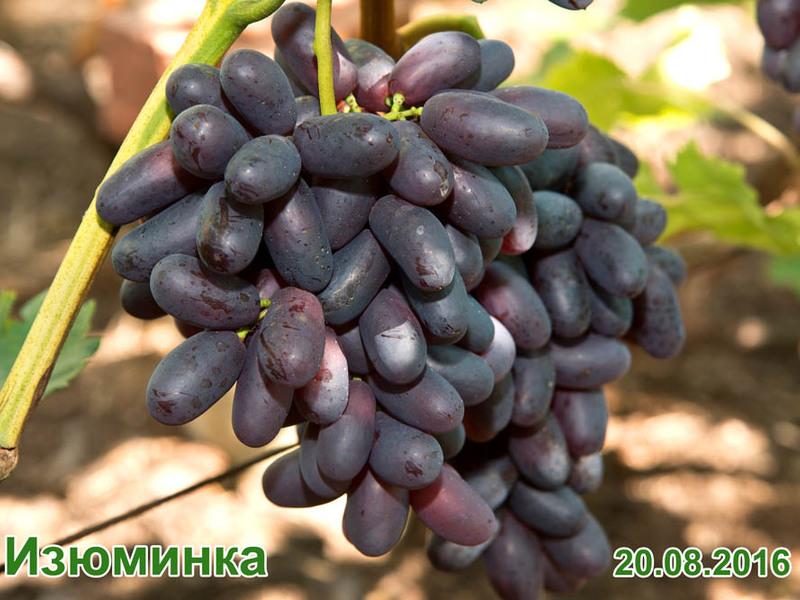 сорт винограда изюминка фото и описание считают уникальной, например