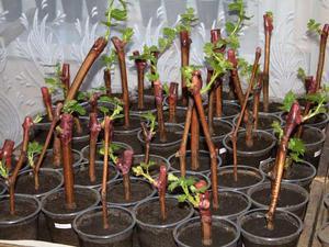 Особенности выращиван я винограда