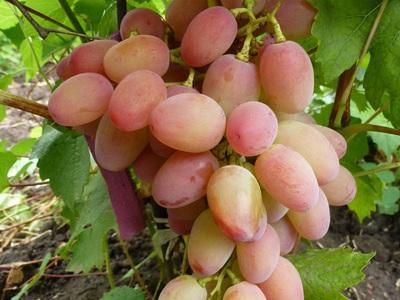 Описание винограда сорта Гелиодор правила посадки и ухода
