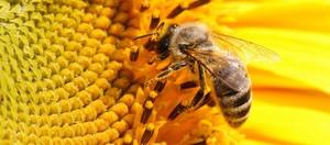 В чем польза пчелиного яда