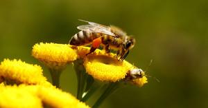 Когда противопоказан пчелиный яд