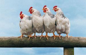 Энрофлон: инструкция по применению для взрослых птиц и цыплят.