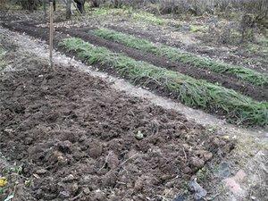 Что посадить на месте выращивания чеснока