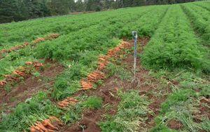 Как собать урожай моркови