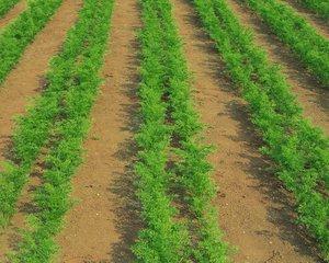 агротехника выращивания в открытом грунте