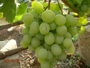 Кеша 2 виноград
