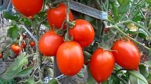 Сорт томата рио гранде