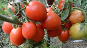 Рио гранде томат описание