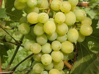 Виноград краса севера описание сорта фото