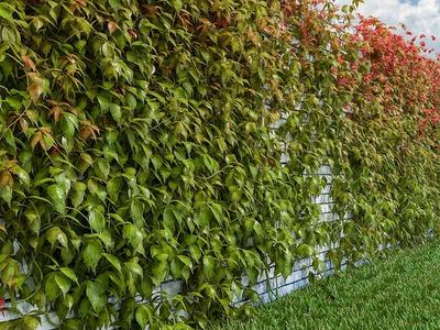 Девичий виноград: посадка и уход в открытом грунте, размножение сорта, выращивание и сочетание в ландшафтном дизайне фото
