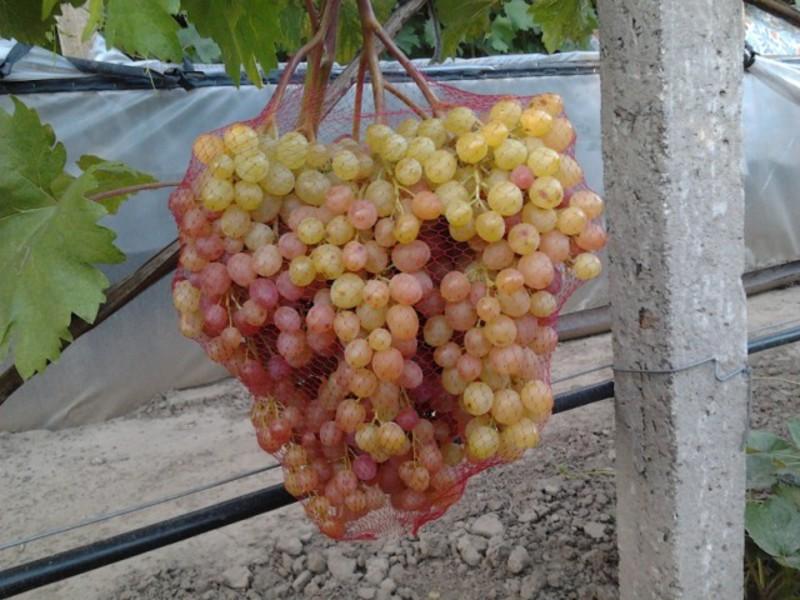 виноград кишмиш велес описание сорта фото пожелать вашему