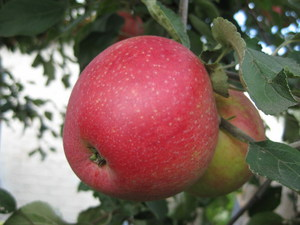 Как вырастить осрт яблони пепин шафранный