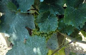 Как защитить виноград Дамский пальчик от заболеваний