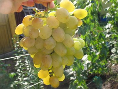 Виноград Юодупе — не боится морозов и грибков - Сорта винограда, Универсальные