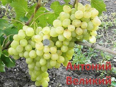Виноград сорта Антоний Великий — Sam-Village