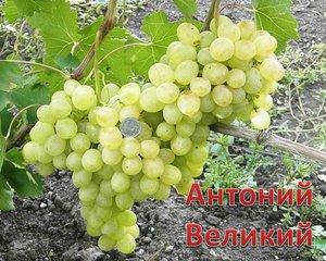 Виноград - вкусные сорта