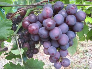 Виноград Рошфор - уход и размножение