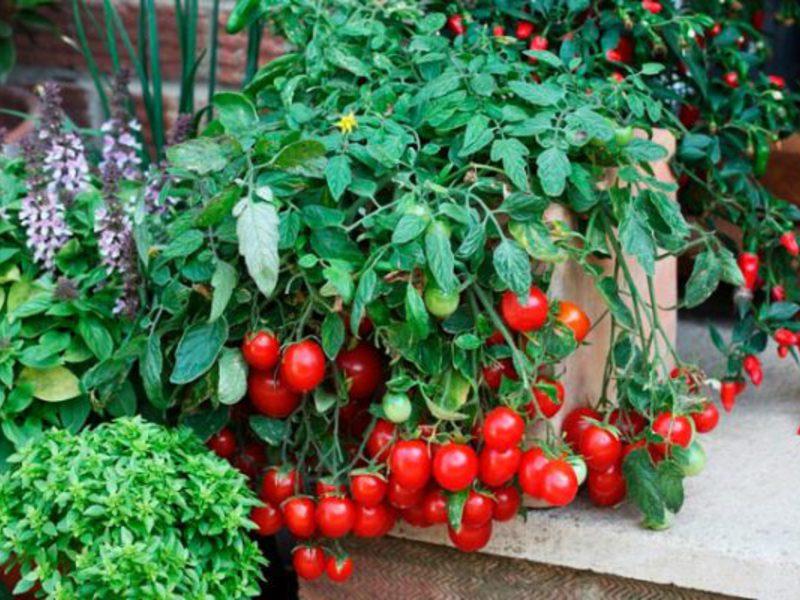 Помидоры балконное чудо выращивание дома зимой 35