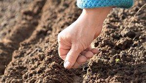 Посадка петрушки весной: особенности посадки семенами в открытый грунт