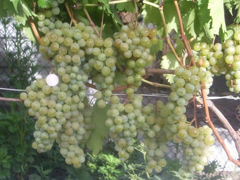 Какие сорта винограда лучше сажать на алтае 72
