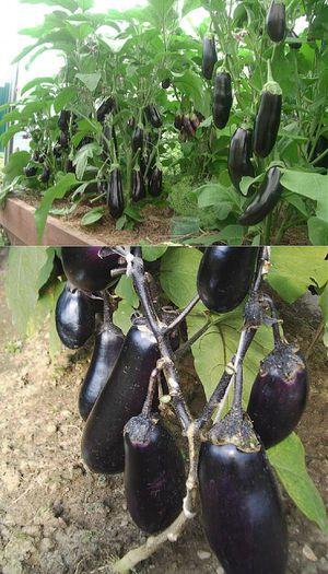 Выращивание баклажанов в сибири 66