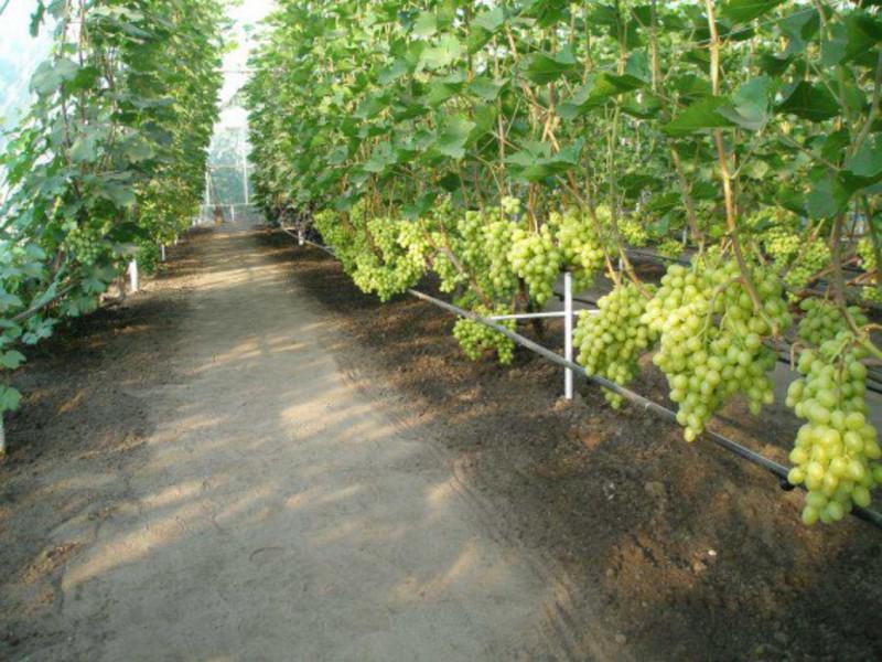 Выращивание сортового винограда 87