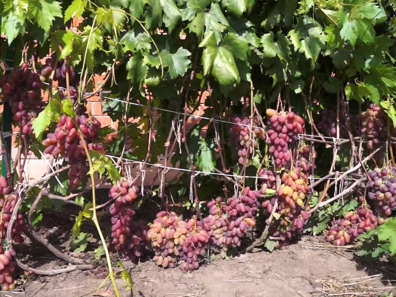 Виноград выращивание и уход в августе 94