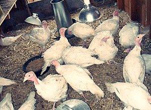 Выращивание индюков в домашних условиях с нуля 791