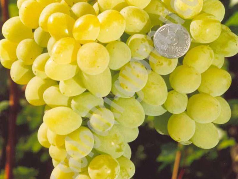 Сорт винограда восторг фото и описание белый